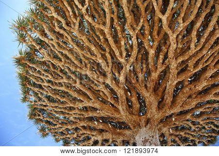 Canopy and spiky leaves of Dragon tree - Dracaena cinnabari - Dragon's blood - endemic tree from Soqotra, Yemen