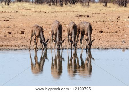 drinking hear dof Kudu, Etosha national Park, Ombika, Kunene, Namibia. True wildlife photography