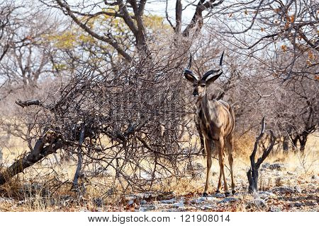 Portrait Of Kudu Antelope