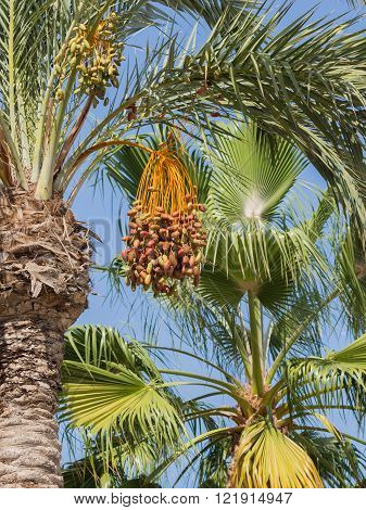 High palm tree with delicious ripe sweet figs on blue sky background vertically Spain