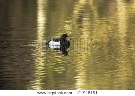 A tufted duck is swimming on a pond