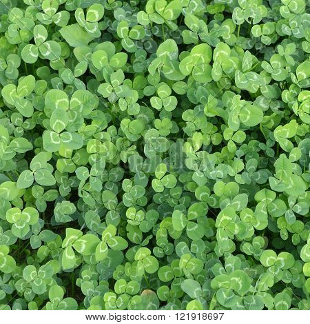 Background. Green leaves of a clover in the field.