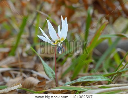 Dog-tooth white (Erythronium dens-canis) in natural habitat