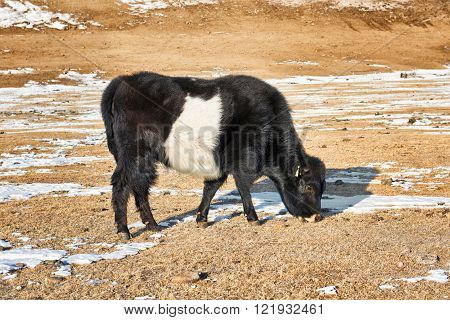 Calf Mongolian yak black-and- white color . Mongolian steppe