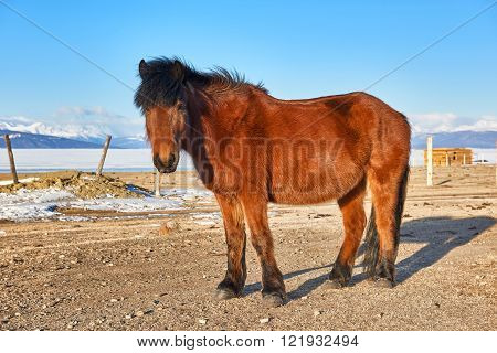 Mongolian horse standing with head raised and looking at the picture. Taken at Lake Hovsgol . Mongolia
