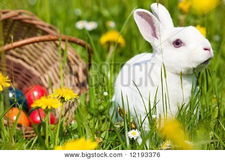Easter bunny on a beautiful spring meadow with dandelions in front of a basket with Easter eggs