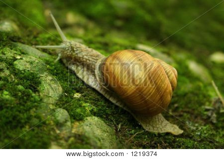 Brown Snail On A Mossy Rock