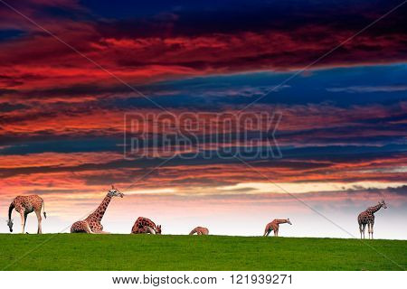 giraffes resting in the grass on fota wildlife park in county cork ireland