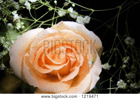 Beautiful Rose And Babys Breath