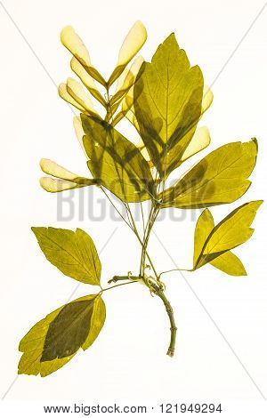 Illuminated herbarium of Acer negundo seeds and leaves isolated on white background.