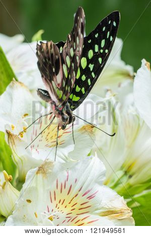 Butterfly Graphium agamemnon on the flowers