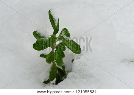 Green cowberry winter under fresh fallen snow