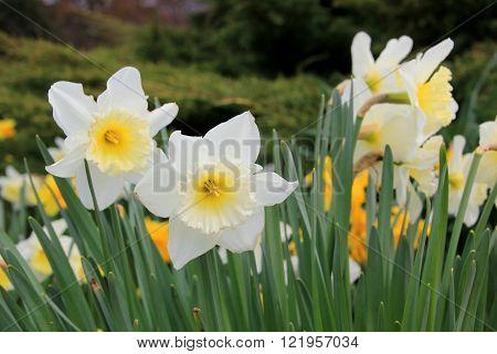 background of white daffodils at spring time
