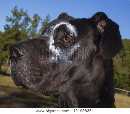 Black purebred Great Dane that apparently got into a fight