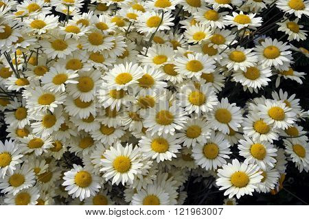Anthemis Tinctoria in full flower, perennial variety wargraves also known as Golden Marguerite flowers.
