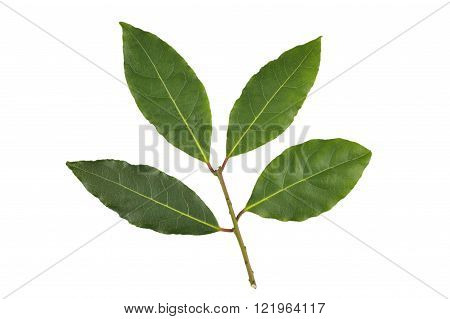 Whole fresh picked sprig of Bay leaves or Bay Laurel leaves used in cooking as an ingredient to flavor dishes.
