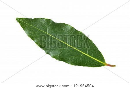 Whole fresh picked Bay leaf or Bay Laurel leaf used in cooking as an ingredient to flavor dishes.