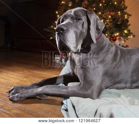 Great Dane that is grey laying next to a lit Christmas tree