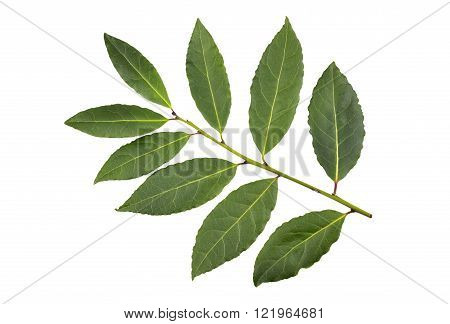 Whole fresh picked sprig of Bay or Bay Laurel leaves used in cooking as an ingredient to flavor dishes.