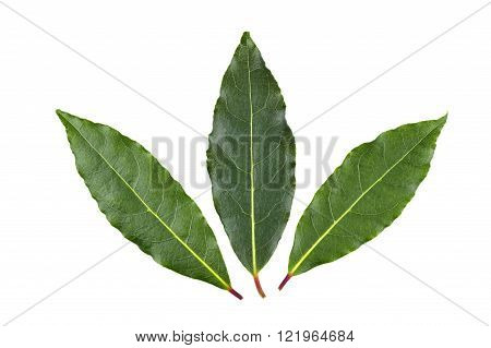 Three whole fresh Bay or Bay Laurel leaves used in cooking as an ingredient to flavor dishes.