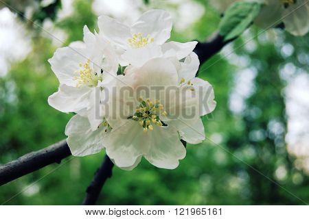 Aged Photo. Flowers Bloom In Spring Season.