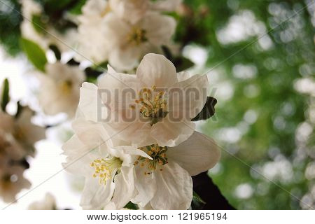Blossoming Apple Flowers In Spring. Aged Photo.