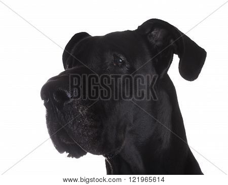 Black Great Dane purebred portrait on a white background