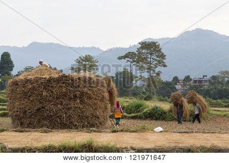 Nepalese peasants harvesting field in Pokhara, Nepal