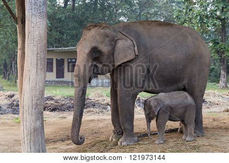 Elephant mother and baby in Chitwan National Park, Nepal
