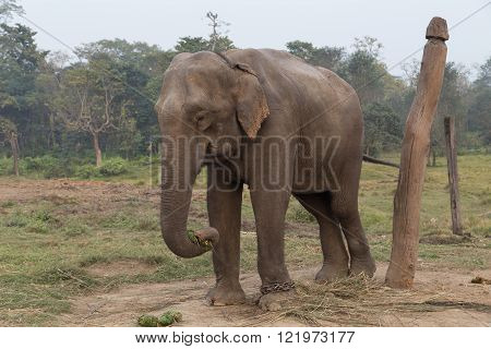 Elephant in Chitwan National Park, Nepal