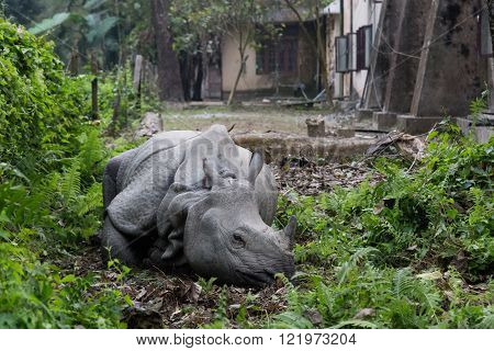 Rhino lying in a village garden, Chitwan National Park, Nepal