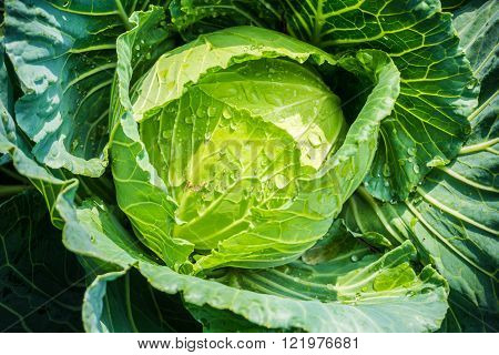 Organic Farming Of Fresh Green Cabage