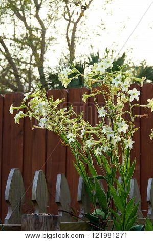 Nicotiana Alata  Flowers Against Sky And Fence