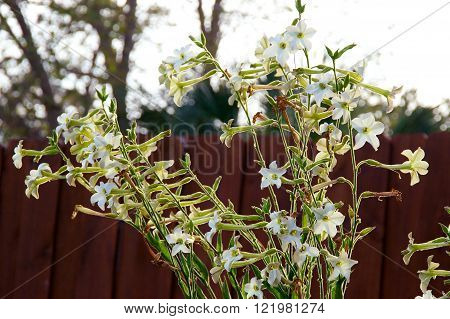 Nicotiana Alata  Flowers With Picket Fence