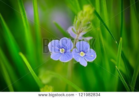 Veronica chamaedrys (Germander Speedwell) among the green grass