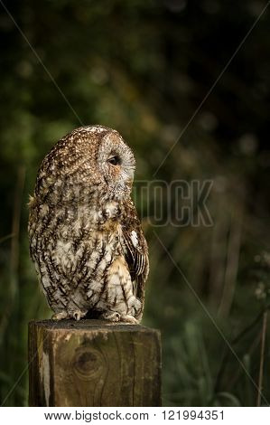 Wild tawny owl sat on fence post at edge of field (Strix aluco)
