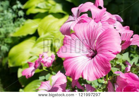 Pink mallow flowers blossom on a green leaves background