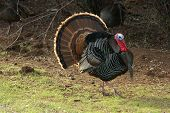image of turkey dinner  - turkey tom strutting his stuff in the spring mating rituals - JPG