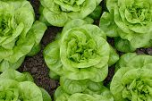 stock photo of butter-lettuce  - lettuce or butter - JPG