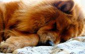 A Chow Chow Dog Sleeping