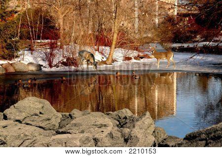 Reflexiones de ciervos