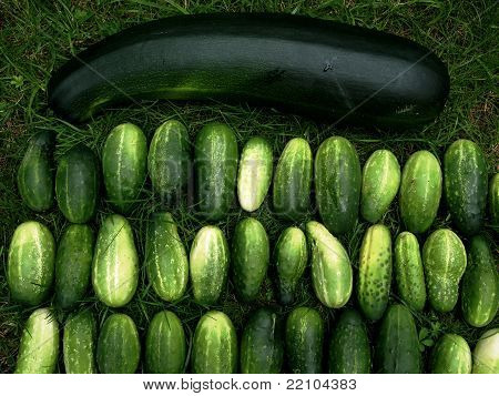 huge zucchini with many small cucumbers