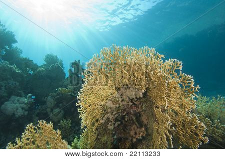 Underwater Coral Reef Scene With Fire Coral