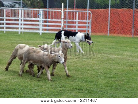 Sheep Dog At Work