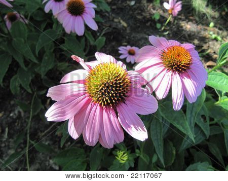 Cone Flowers or Echinacea species showing beuatiful color