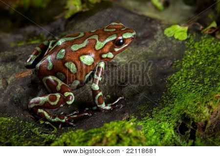 golden poison frog, dendrobates auratus lives in the central american rain forest of Panama. Beautiful animal kept as a pet in a tropical jungle terrarium. an exotic poisonous amphibian bright colors.