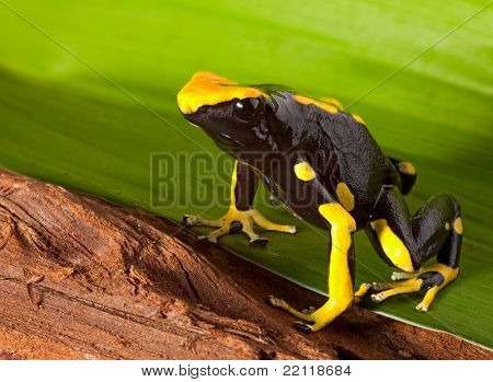 orange and black poison dart frog. Beautiful exotic tropical animal of amazon rain forest. These amphibians are kept as pets in a jungle terrarium. These species are poisonous.