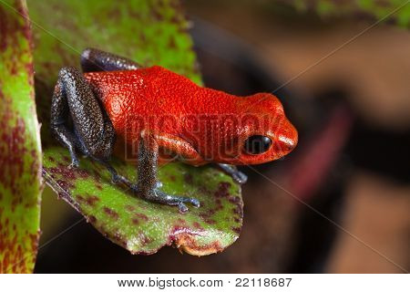 red frog from Costa Rica or panama poison dart frog on leaf in central American rain forest. . Beautiful poisonous pet animal. Endangered amphibian of the tropical jungle. strawberry frog