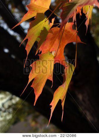 Zucker-Ahorn Blätter im Herbst, Rückseite hell