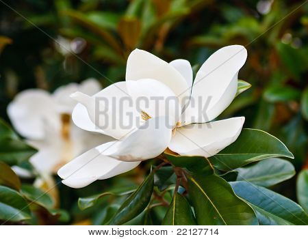 Magnolia Blooms In Tree